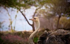 Обои птица, профиль, страус, шея, зоопарк
