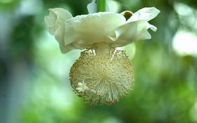 Обои цветение, цветок, медуза