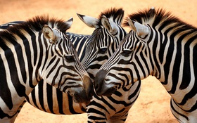 Обои white, heads, Savanna, black, eyes, necks, zebras