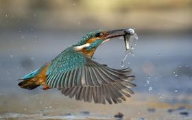 Картинка вода, птица, рыба, зимородок, kingfisher, улов