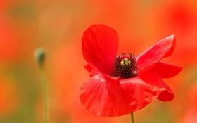 Обои цветок, мак, размытость