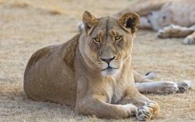 Обои кошка, львица, ©Tambako The Jaguar