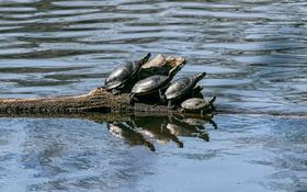 Обои вода, бревно, четыре, черепахи