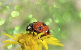 Обои цветок, капельки, божья коровка, flower, drops, ladybug