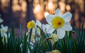 Картинка цветы, желтые, белые, нарциссы
