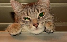 Обои кошка, глаза, кот, взгляд, морда, кошки