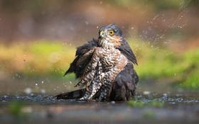 Картинка вода, птица, Eurasian Sparrowhawk
