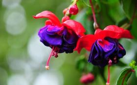 Картинка цветок, красота, розово фиолетовый