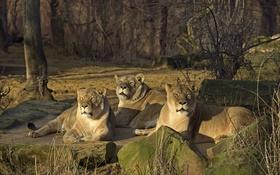 Обои солнце, кошки, камни, отдых, трио, львицы