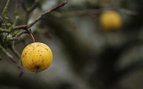 Обои яблоко, ветка, осень