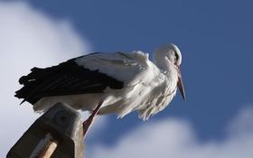 Картинка птица, аист, небо