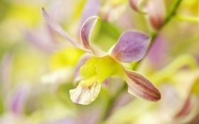 Обои цветок, лепестки, орхидея