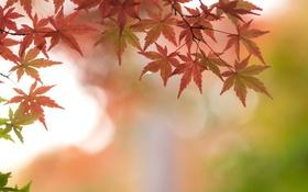 Обои осень, листья, ветки, клен, багряный