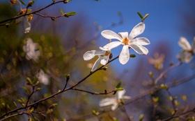 Обои цветы, ветки, дерево, весна, лепестки, магнолия