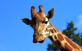 Обои небо, жираф, оскал, шея