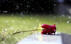 Обои роза, фон, цветок
