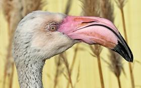 Картинка макро, птица, фламинго