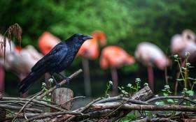 Обои птица, черный, забор, ворон