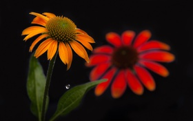 Обои цветок, листья, капля, лепестки, эхинацея