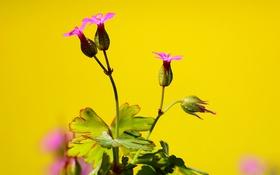 Обои цветок, природа, растение, куст
