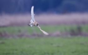Обои сова, белая, в полете, питца