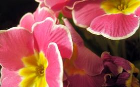 Обои Макро, Природа, Цветы