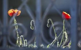 Обои цветы, забор, маки, решетка