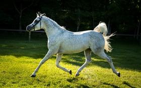 Обои серый, конь, лошадь, бег, рысь