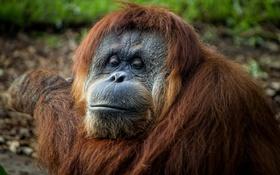 Картинка природа, портрет, Sumatran Orangutan
