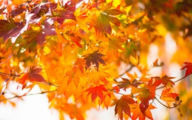 Картинка осень, листья, японский клен