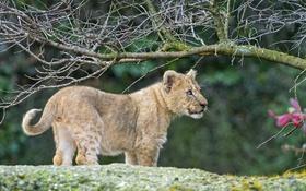 Обои львёнок, ветки, ©Tambako The Jaguar, детёныш, котёнок, кошка