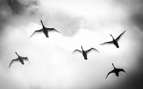 Обои flight, Wing Wednesday, mute swans