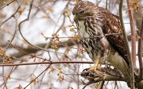 Картинка ветки, дерево, птица, хищник, ястреб