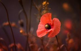 Картинка макро, цветы, мак, лепестки, красные