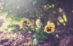Обои цветок, земля, растение, желтые, лепестки, анютины глазки