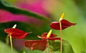 Обои макро, Цветок фламинго, Антуриум
