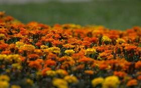 Обои желтые, оранжевые, цветение, yellow, orange, кустики, Marigold