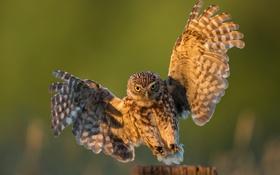 Обои свет, природа, сова, птица