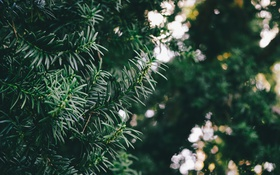 Обои листья, зеленый, дерево, боке