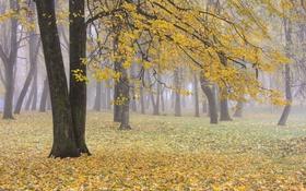 Обои листва, пасмурно, желтый, деревья, листья, осень