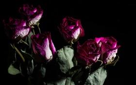 Обои фон, розы, цветы