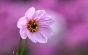 Обои цветок, фон, розовый, георгин