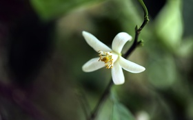 Обои цветок, ветка, белый, макро