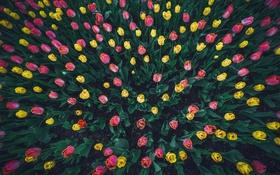 Картинка тюльпаны, фон, цветы