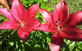 Обои цветы, лепестки, лилии