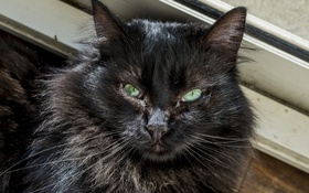 Обои кошка, глаза, кот, взгляд, черный