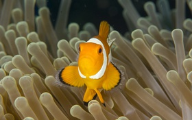 Обои fish, clownfish, sea anemone