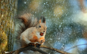 Обои зима, снег, природа, дерево, животное, ветка, орех
