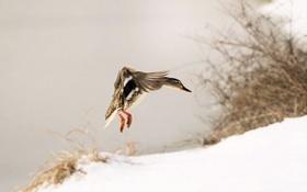 Картинка зима, птица, утка