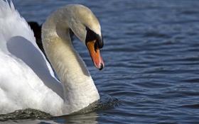 Обои вода, птица, профиль, лебедь